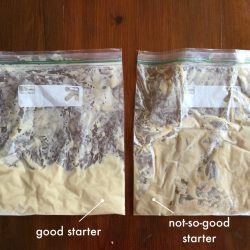 Tutorial – Good vs Not-So-Good Amish Friendship Bread Starter