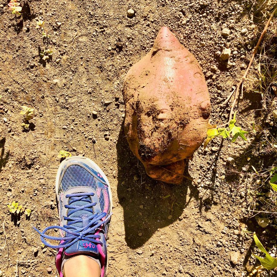 Garden sweet potato